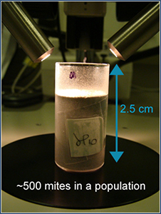 Fig 1 Smallegange_population of bulb mites in tube
