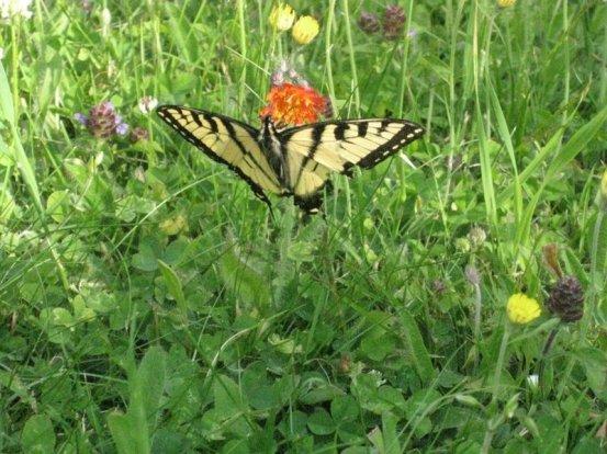 Papillon tigré, ste Brigitte